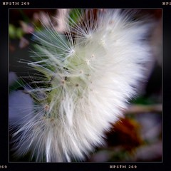 One Dandellion (bethbikes33) Tags: macro nature dandelion iphoneography hipstamatic pistilfilm olloclip wattslens jollyrainbo2xflash purehipstamatic hipstaconnect hipstaweekly hwwattswednesday