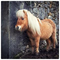 Cute pony (jeff_006) Tags: portrait orange brown animal stone wall olympus panasonic pony f28 mane 1235 em5