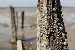 Groyne remains, Horse Sands | Faversham to Whitstable - 20 (Paul Dykes) Tags: wood uk sea england beach coast kent spring sand mud shingle seawall coastal april posts groyne 2013 horsesands