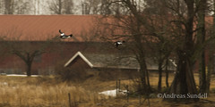 Birds in flight (A.Sundell) Tags: lake bird nature rain weather birds animal prime duck pentax sweden natur swedish 300mm da raindrops birdsinflight sverige vatten f4 anka bif fglar sj djur fgel vstmanland surahammar naturfoto weathersealing framns naturphoto da300mm pentaxda300mmf4 pentaxda3004 pentaxk5