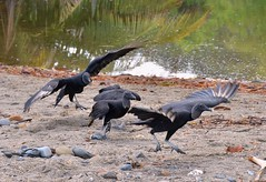 Black Vultures scrapping as usual. Grand Riviere beach, Trinidad. (One more shot Rog) Tags: black bird beach nature birds fight wildlife flight beak feathers feather vultures ugly caribbean vulture scrapping scrap tobago scavenger beaks grandriviere blackheadedvulture reinidad