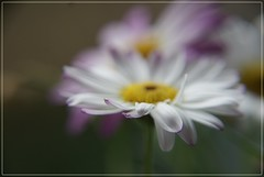 Margerite - explored (Steffi-Helene) Tags: flowers white nature beauty steffi blumen lilac blurr verschwommen margeriten