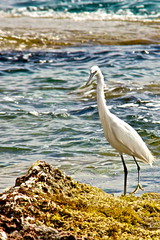 Egret (jayneboo) Tags: sea holiday seaweed bird water coast fishing mallorca egret canon18200