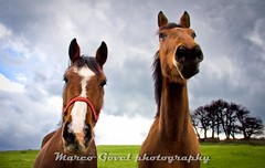 horse portrait (Marco Govel) Tags: portrait horse pets brown motion nature beautiful beauty grass animal animals fauna speed hair mammal outdoors bay jung mare head farm tail meadow fast run pasture harmony chestnut breed equestrian farmanimal stallion equine mane gallop galloping younganimal harmonious hoofed
