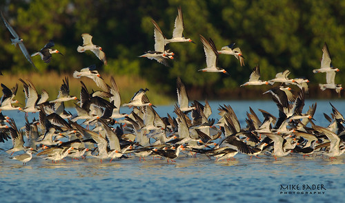 Flock of Skimmers