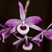 Dendrobium lituiflorum – Merle Robboy