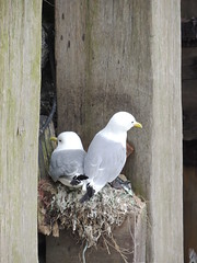 Nesting Kittiwakes (Munki Munki) Tags: lighthouse harbour jetty scarborough seabirds nesting quayside kittiwake blackfeet