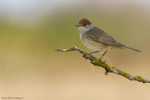 Blackcap (female) Sylvia atricapilla