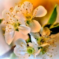 Primavera (=Я|Rod=) Tags: colors spring blossoms pushed blüten voigtländerapolanthar9035slii ©reinerrodekohr