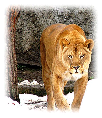 sign leo lion zodiac lew zodiak znak