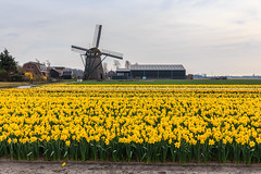 Can you count how many daffodils? Meeting the spring on scale in Holland (Maria_Globetrotter) Tags: travel flowers wild plant flower holland tourism netherlands windmill beautiful dutch yellow architecture canon wonderful landscape spring big perfect colorful day lily power cloudy wilde postcard nederland lan