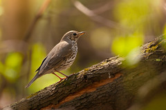 Tree Pipit (Emyan) Tags: bird nature animals forest spring ukraine kharkiv anthustrivialis treepipit