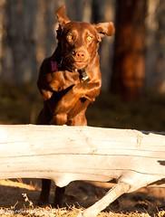 Jumping Labrador (KB RRR) Tags: dogs nature jump colorado rockymountains ddc gallop chocolatelabrador shyla