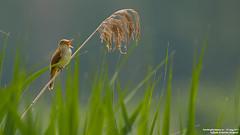 cannareccione (taronik) Tags: natura uccelli animali canneto cacciafotografica cannareccione blinkagain allofnatureswildlifelevel1 me2youphotographylevel1