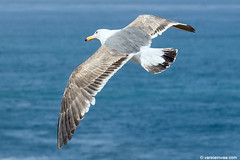 Western Gull, 3cy (little-W | Studying gulls) Tags: bird gull westerngull meeuw vogel larus occidentalis larusoccidentalis