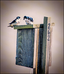 Looks Like a Heated Discussion at Nesting Box 262 (Martin Smith - taking a break) Tags: bc delta ladner 262 reifel tachycinetabicolor treeswallows westhamisland reifelbirdsanctuary nestingbox nikond7000 nikon7020028vrii