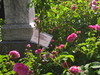 IMG_0541 (ceztom) Tags: city trip roses plant cemetery rose by garden square with native cemetary hamilton visit betty historic rivers april sacramento 20 davis speech 19 rosegarden cezanne perennials opengardens kathe cez 1000broadway april20 2013 930–200