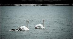Les Marais Salants des Sables d'Olonne (Bérangère SEGURA) Tags: lac swanlake blackswan cygnes plumage anatidae lelacdescygnes cygneaux tchaïkovski