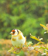 Goldfinch (Now flying with the angels xx) Tags: allofnatureswildlifelevel1