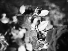 souvenir noir et blanc (picozhang) Tags: roses bw love rose remember heart panasonic amour commémorer dmcgf1