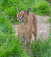 Caracal (There and back again) Tags: cat caracal exmoorzoo
