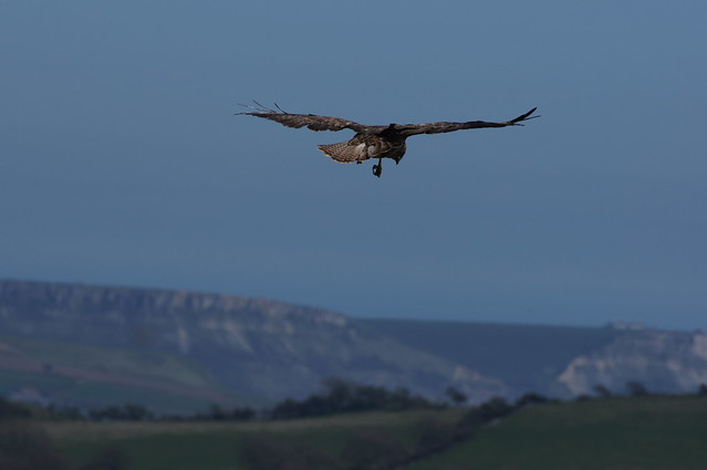 Stalking its prey. A Buzzard over the Purbeck Hills near Lulworth