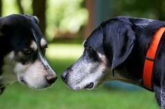 21/52 debriefing (huckleberryblue) Tags: dog nose gracie hound kaley bluetickcoonhound week21 52weeksfordogs