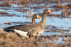 White-fronted Goose (DnV Photo) Tags: canada geese north feathers arctic migration nunavut whitefrontedgoose birdphotography kugluktuk