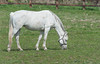 Grey mare (swordscookie back and trying to catch up!) Tags: ireland sea field grass fencing curtsy mares bridle brood foals fingal codublin loughshinny