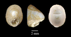 MOL_ 2385_F_acuminata_6183_01_524x276.gif (MaKuriwa) Tags: mollusca gastropoda archaeogastropoda fissurellidae fissurisepta