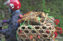 Chicken transportation via motorbike (vbolinius) Tags: 2016 animal car chicken locals motorcycle sapa travel vietnam
