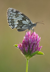 Marbled White on Red Clover (Alan MacKenzie) Tags: butterfly macro wildlife nature marbledwhite summer evening flower southdowns