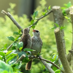 A Pair of Yellow-vented Bulbuls (Robert-Ang) Tags: tree chinesegarden singapore yellowventedbulbul bulbul