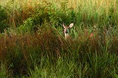 Deer Peek (Maggggie) Tags: 52in2016 deer grass field nature peeking doe