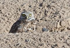 Peek-a-boo! -- Burrowing Owl (Athene cunicularia); Los Lunas, NM [Lou Feltz] (deserttoad) Tags: nature newmexico bird wildbird wildlife raptor owl desert behavior migration