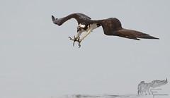 Osprey Dive 7_25 (krisinct- Thanks for 12 Million views!) Tags: nikon d500 500 f4 vr g