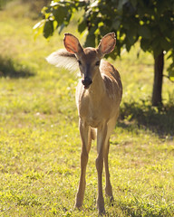 DSC_1726 (Angel Cher ) Tags: fawn whitetailed deer