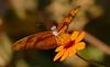 Julia Butterfly (Dryas iulia) on Ridge Beggartick (Bidens gardneri) flower (berniedup) Tags: pantanal transpantaneira poconé juliabutterfly dryasiulia taxonomy:binomial=dryasiulia nymphalidae heliconiinae ridgebeggartick bidensgardneri flower asteraceae taxonomy:binomial=bidensgardneri