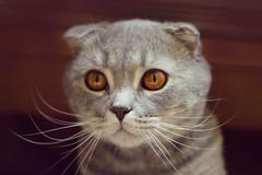 Martin (ViktoriyaMurashko) Tags: cat scottishfold graycat whiskered
