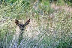 camouflage! faon (cervus elaphus) (G.NioncelPhotographie) Tags: biche faon animaux cervid cervus elaphus