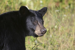 Yearling (maybe) (Seventh day photography.ca) Tags: blackbear bear animal wildanimal wildlife predator mammal ontario canada summer yearling male boar