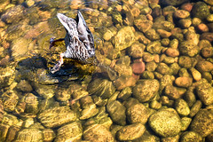 Uh oh.....I may be stuck! (Wendy Oor) Tags: birds bird water pond nature ducks outdoors nikon d5500