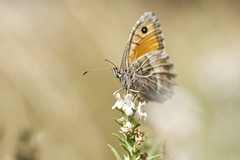Small Butterfly (fredMin) Tags: butterfly insect macro bokeh fuji fujifilm xt1 fujinon 60mm nature france nec