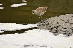 HaywardShoreline_080616_086 (kwongphotography) Tags: haywardshorelineinterpretivecenter bird willet hayward calif unitedstates