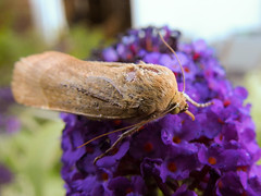 (Lepidoptera: Noctuidae) Noctua fimbriata, Bredbandat bandfly / Broad-bordered yellow underwing (holgeric77) Tags: karlstad vrmlandsln sweden se lepidoptera noctuidae noctuafimbriata