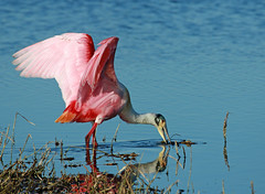 this is so peaceful ^^ (Dianne M.) Tags: roseatespoonbill water swamp nature feathers pink plumage outsid wings feeding florida