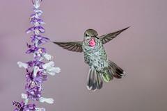 Anna's Hummingbird (female) (Eric Gofreed) Tags: annashummbingbird hummingbird mybackyard sedona villageofoakcreek