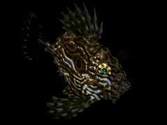 P8211380 (Jeannot Kuenzel) Tags: jeannotkuenzel jeannot kuenzel wwwjk4unet jk4u malta scuba under water underwater diving photography macro supermacro olympus epl5 zen port leica dg macroelmarit 45mm f28 asph ois inon z240 240z ucl165 s2000 moods aliensofthesea aliensofthedeepblue alien deep blue mediterranean sea maltaunderwater maltaunderwatermacro maltaunderwaterphotography bestmaltaunderwaterpictures maltamacro underwaterphotography maltascubadiving supermacrophotography underwatersupermacro underwateralien underwaterworld underwatercreature underwatermacro extrememacro superextrememacro
