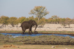 There's always one (abbobbotho) Tags: etosha namibia oshikotoregion na