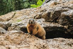 Marmot (chiara.poire) Tags: marmotte marmots marmot trentino dolomiti dolomites mountain animals animali green rock verde italy italia natura nature
